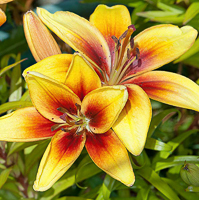 lily yellow 4
